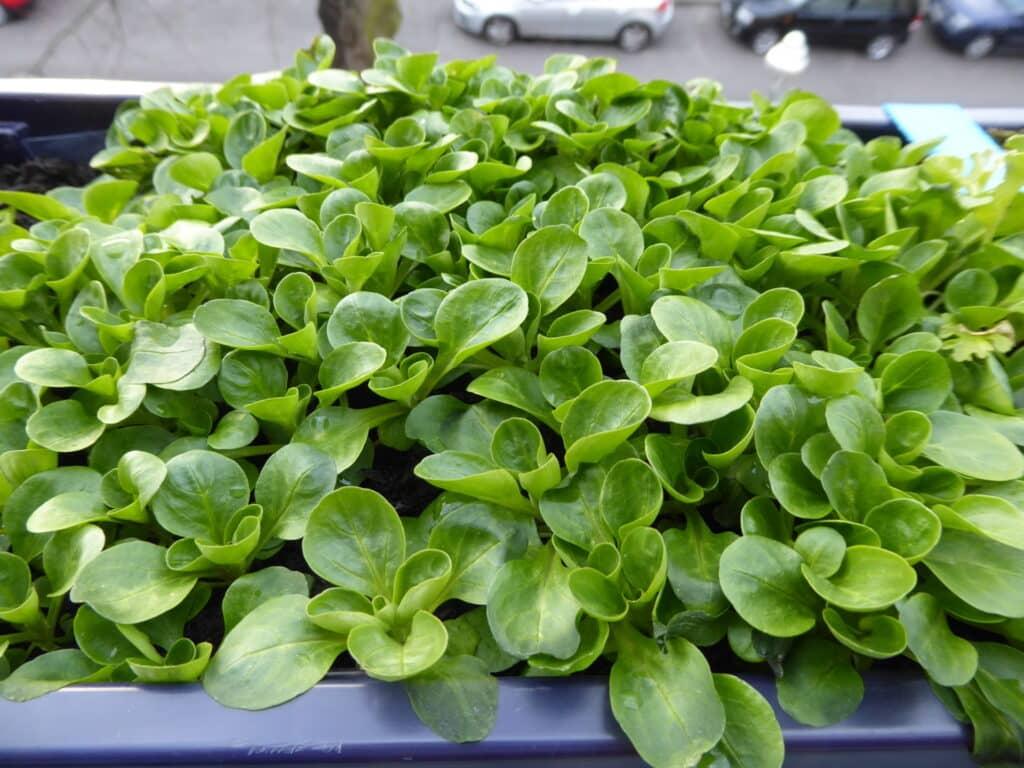 Feldsalat ist frosthart. Er ist ein typisches Wintergemüse. Entweder werden die ganzen Rosetten geerntet oder jeweils einzelne äußere Blätter.
