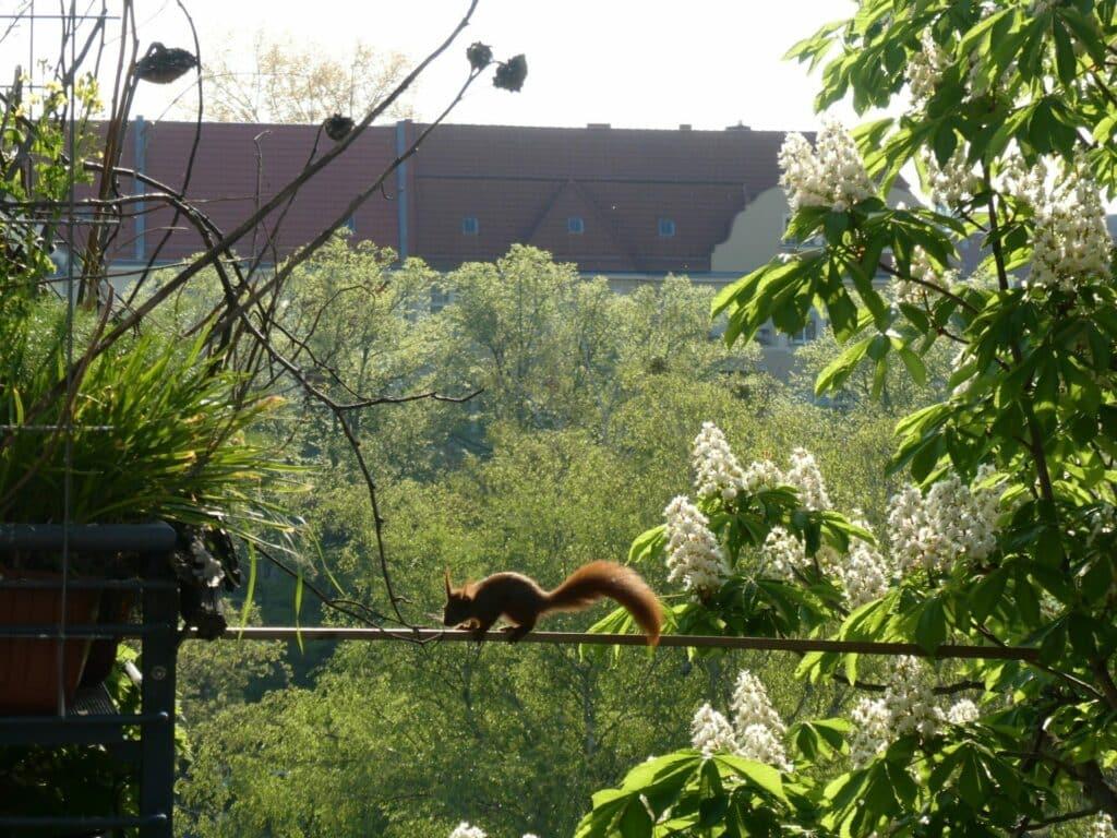 Balkon, Gärtnern Balkon, nachhaltiges Gärtnern, biologisches Gärtnern, Balkongarten, Gärtnern Balkongarten, ökologisches Gärtnern, Eichhörnchen, Eichhörnchen Balkon, Eichhörnchen Balkongarten, Eichhörnchen Garten, Biobalkon, Bio-Balkon, Natur mitten in der Stadt, Stadtnatur, Natur in der Stadt, Selbstversorgung Balkon, Selbstversorgung Balkongarten, Naturbalkon, Wildpflanzenbalkon, essbare Wildpflanzen, bienenfreundlich gärtnern, insektenfreundlich gärtnern, bienenfreundliche Pflanzen, insektenfreundliche Pflanzen, Vogel Balkon, Insekten Balkon, Natur Balkon, Natur Balkongarten, Biotop Balkon, Biotop Balkongarten, Vogelbalkon, Insektenbalkon