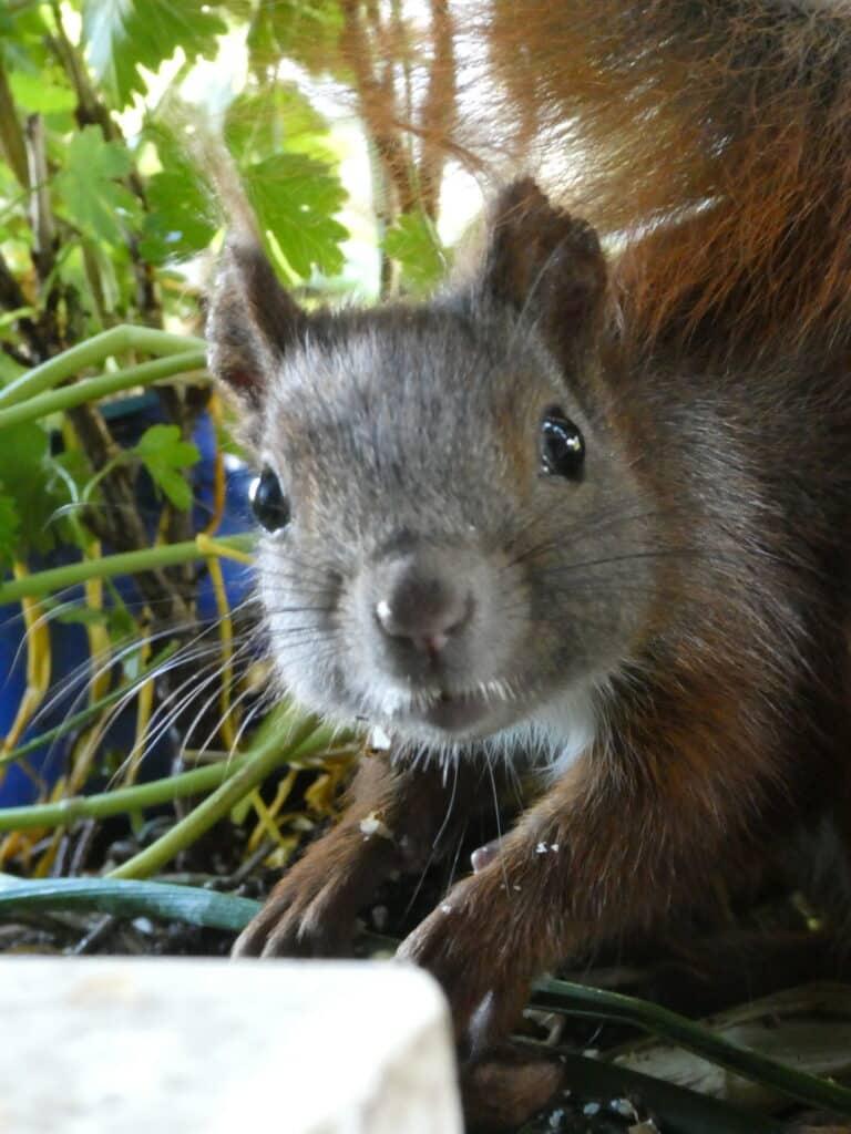 Mein Biotop auf dem Balkon: Dazu gehören auf meinem Bio-Balkon die entzückenden Eichhörnchen.