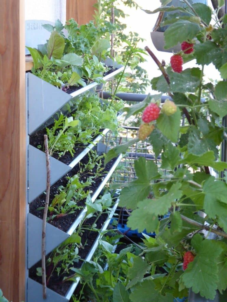 Hier findest Du meine Erfahrungen mit dem Vertikalbeet von HerbiosGarden. Es sichert mir die Selbstversorgung mit frischem Pflanzengrün für eine gesunde, frische, chlorophyllreiche Ernährung mitten in Berlin.