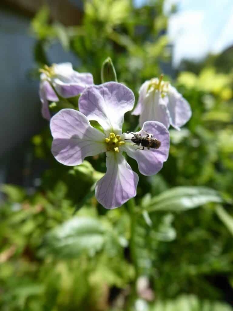 Die Blüte der Radieschen ist schön. Ich beobachte Wildbienen in der Blüte.