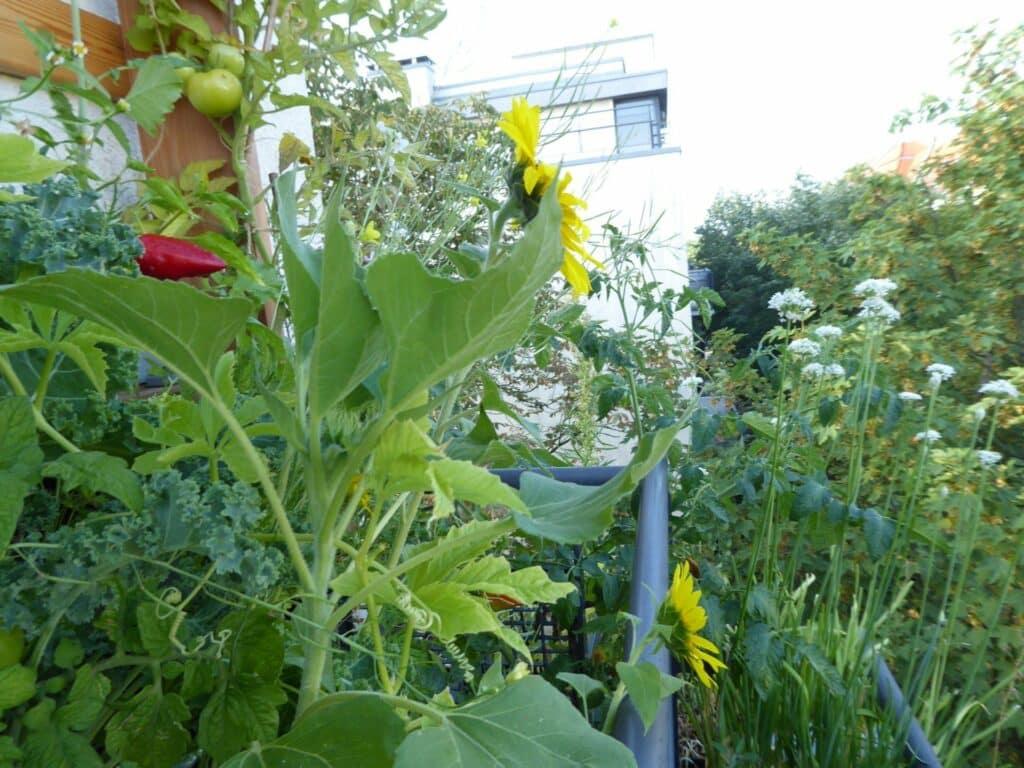 Aus diesem Vertikalbeet zum vertikalen Gärtnern lässt sich auch mitten in der Stadt richtig viel ernten. Dazu Vielfalt. Alte Sorten. Voller Geschmack. Gift- und chemiefrei. Es ermöglicht eine ganzjährige Selbstversorgung mit frischen Kräutern, Obst und Gemüse in Bio-Qualität.