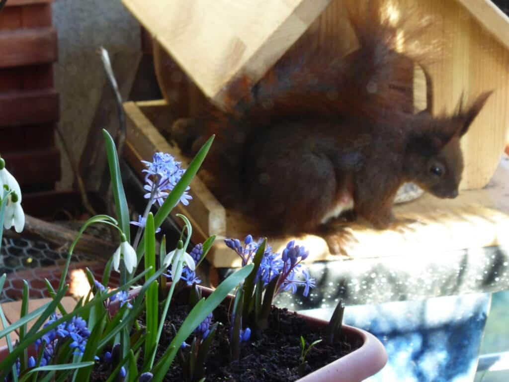 Mein Biotop auf dem Balkon. Naturerlebnis und Ernteglück mitten in der Stadt. Mein Balkon zieht Eichhörnchen an. Hier ist die Eichhörnchen-Mama zu sehen. Gut ersichtlich sind ihre Zitzen.