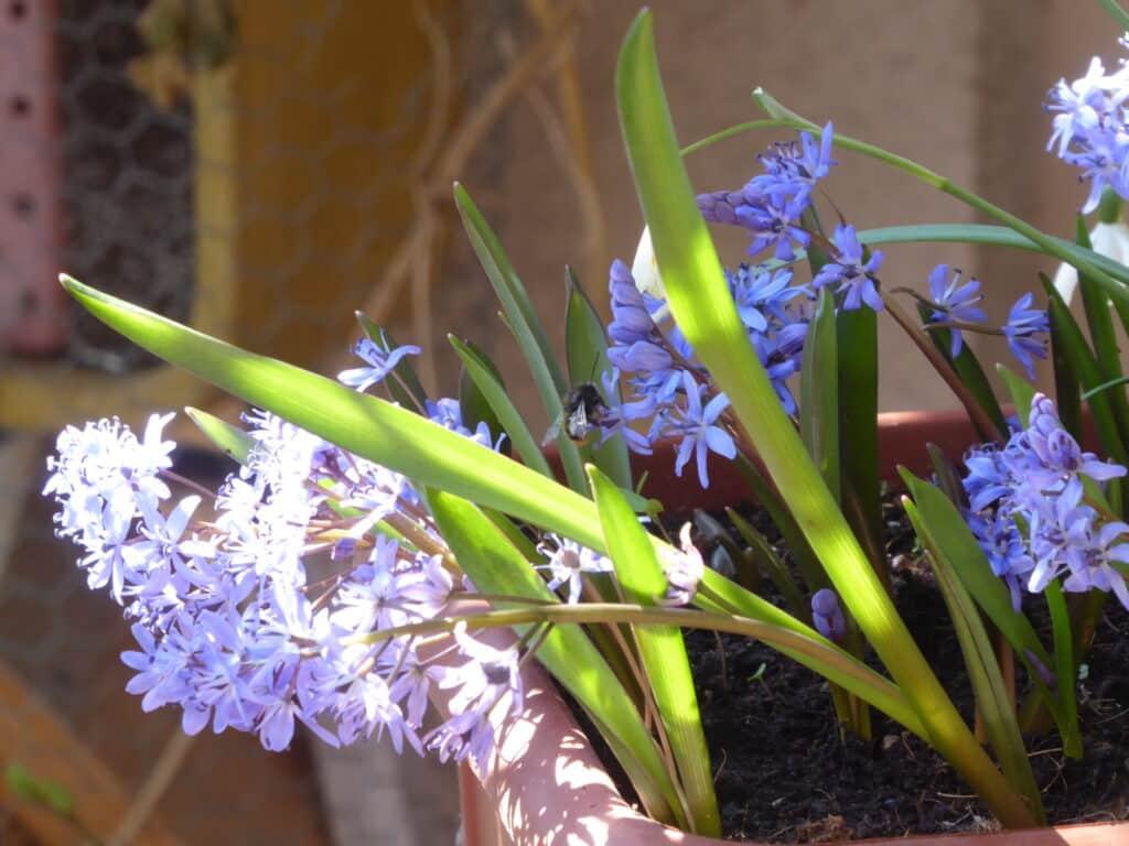 Frühblüher erfreuen das Auge und ziehen Wildbienen, hier Mauerbiene, an. Hier bekommst Du Blumenzwiebeln mit Gutschein über einen Rabatt-Code.