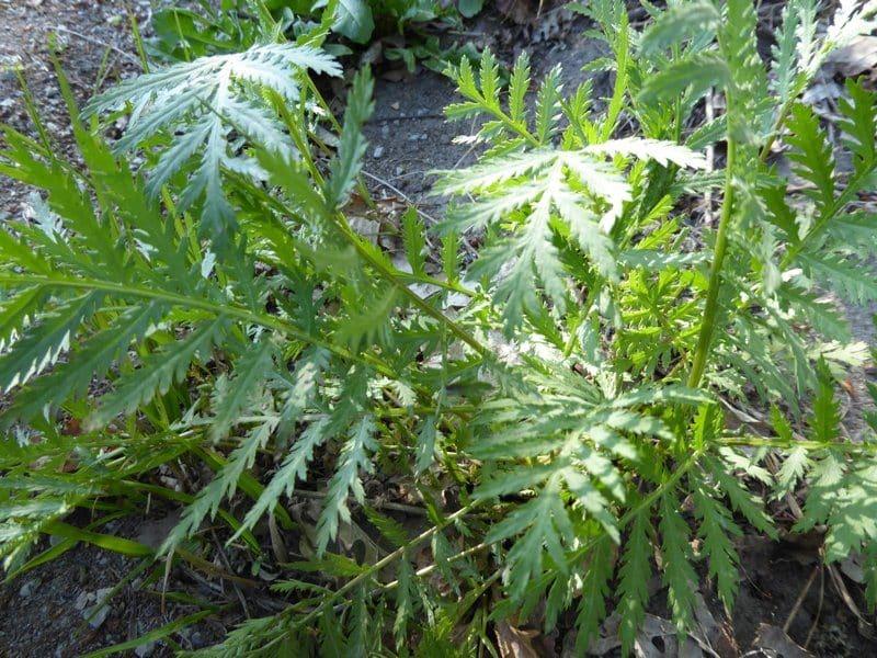 Der Rainfarn ist eine uralte Wirkpflanze gegen Schädlinge beim biologischen Gärtnern. Seine Wirkstoffe vertreiben die Schädlinge.