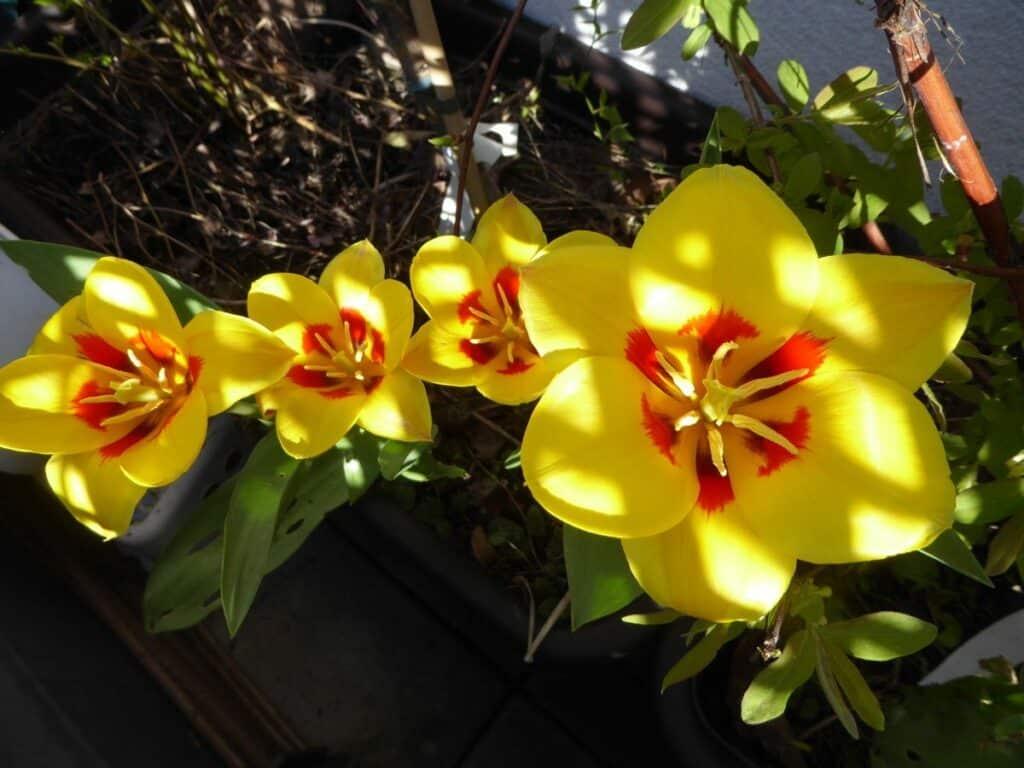 Tulpen sind sehr beliebt. September bis November sollten die Tulpenzwiebeln in die Erde gesteckt werden.