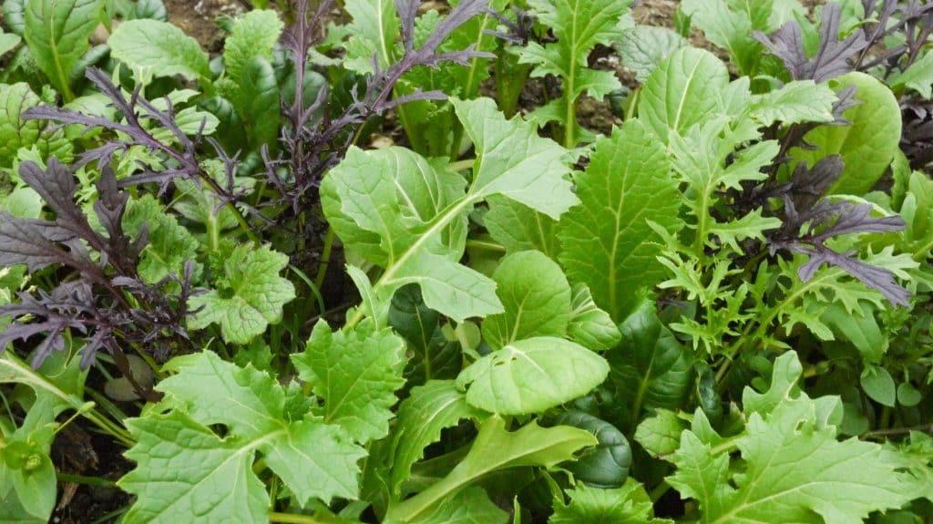5 Balkon-Empfehlungen für den leichten Anbau im August, Zeit für eine Asia-Salat-Mischung
