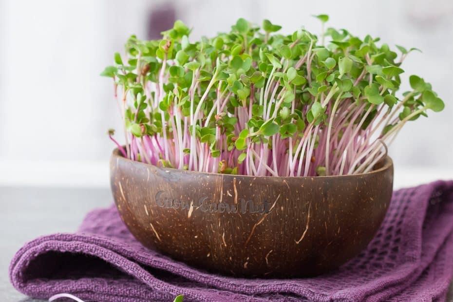 Microgreens in Bio-Qualität aus einer nachhaltigen polierten Kokosnuss-Hälfte. Mit 10 % Rabatt-Code.