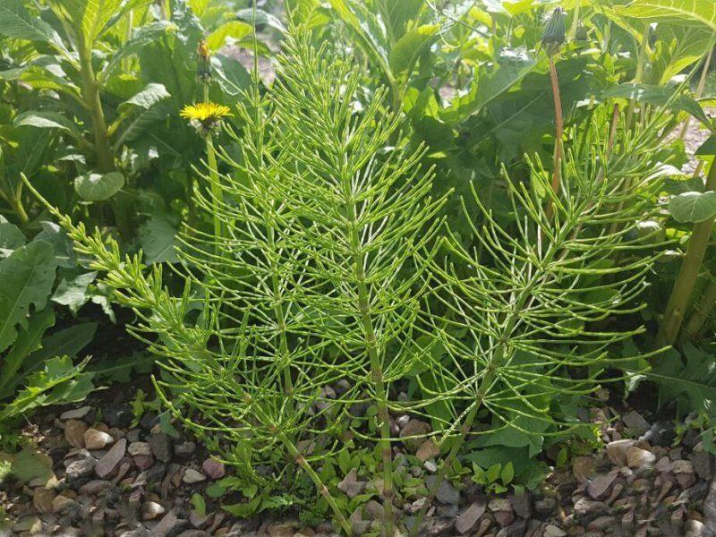 Ackerschachtelhalm ist eine wichtige Pflanze beim natürlichen Gärtnern im Einklang mit der Natur.