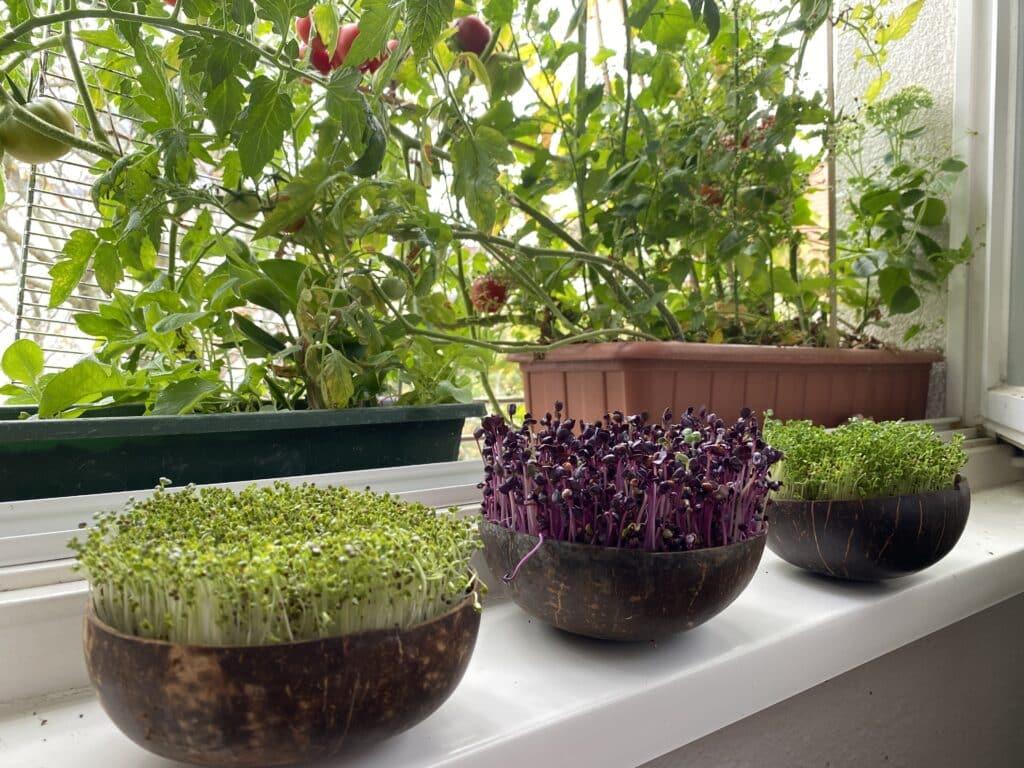 Microgreens auf der Fensterbank oder auf dem Küchentisch ziehen. Mit 10 % Rabatt-Code.