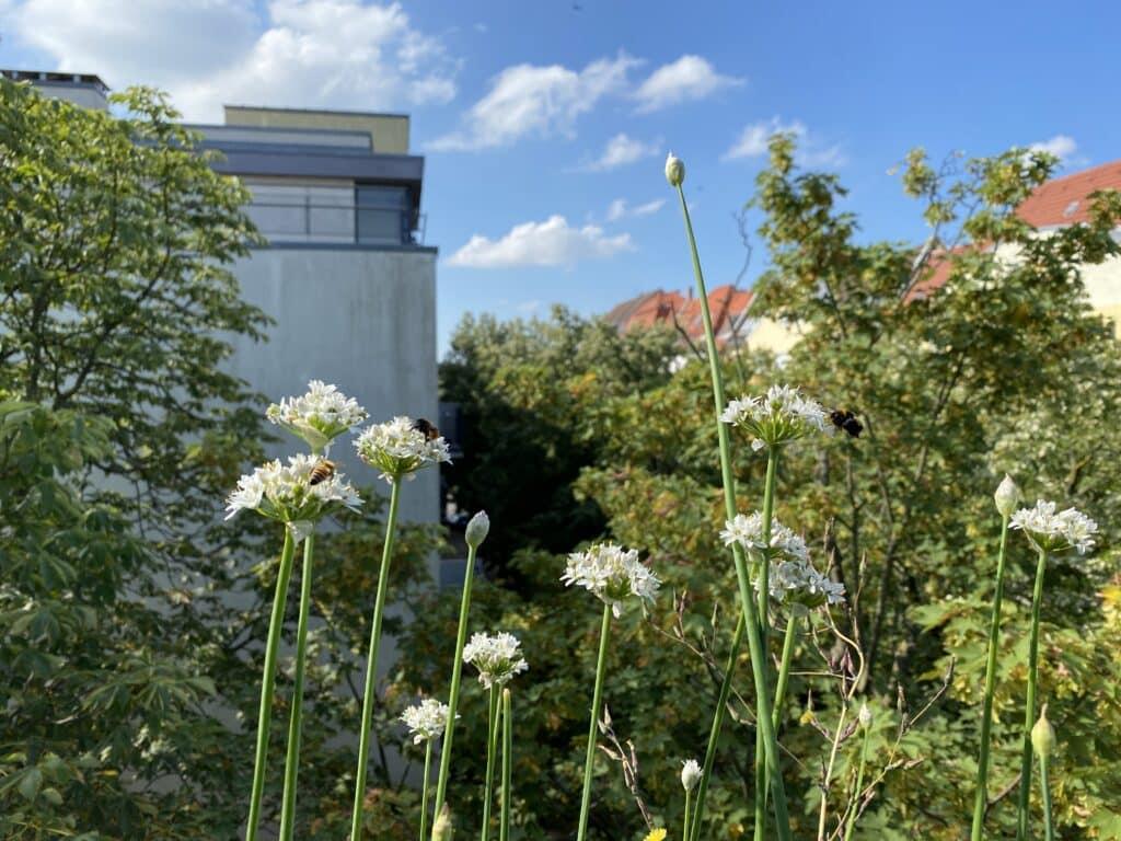 Sehr beliebt bei Insekten ist die Gattung Lauch (Allium). Hier sehe ich sogar Hummeln schlafen. Schon Frühblüher gesteckt? Hier findest Du Öko-Zwiebeln mit Rabatt.