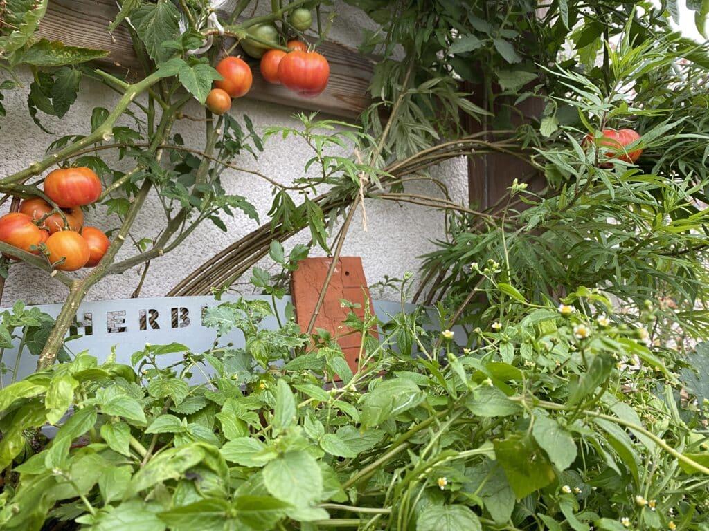 Vertikales Gärtnern ist in. So leuchten gerade die Tomaten in der 3. Saison. Dazu Basilikum, Grünkohl und Wildpflanzen.