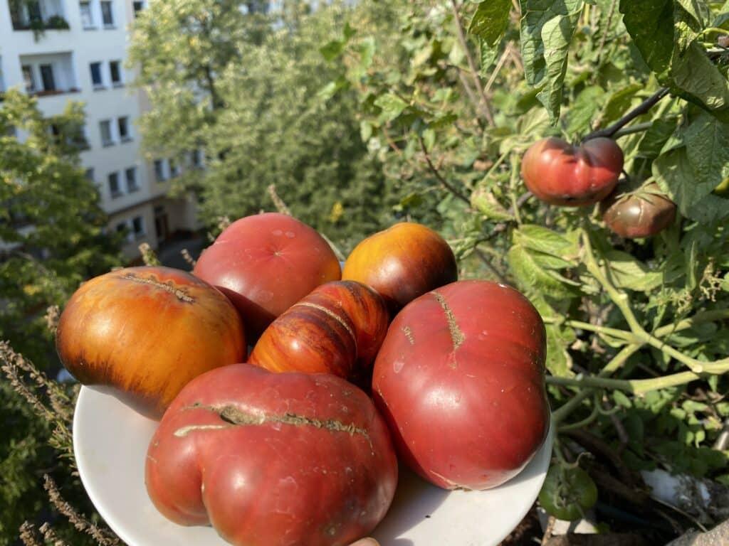 Hier ist ein Bild mit ganz vielen Tomaten. Der Traum aller Selbstversorger. Nicht nur auf dem Bio-Balkon mitten in der Stadt.