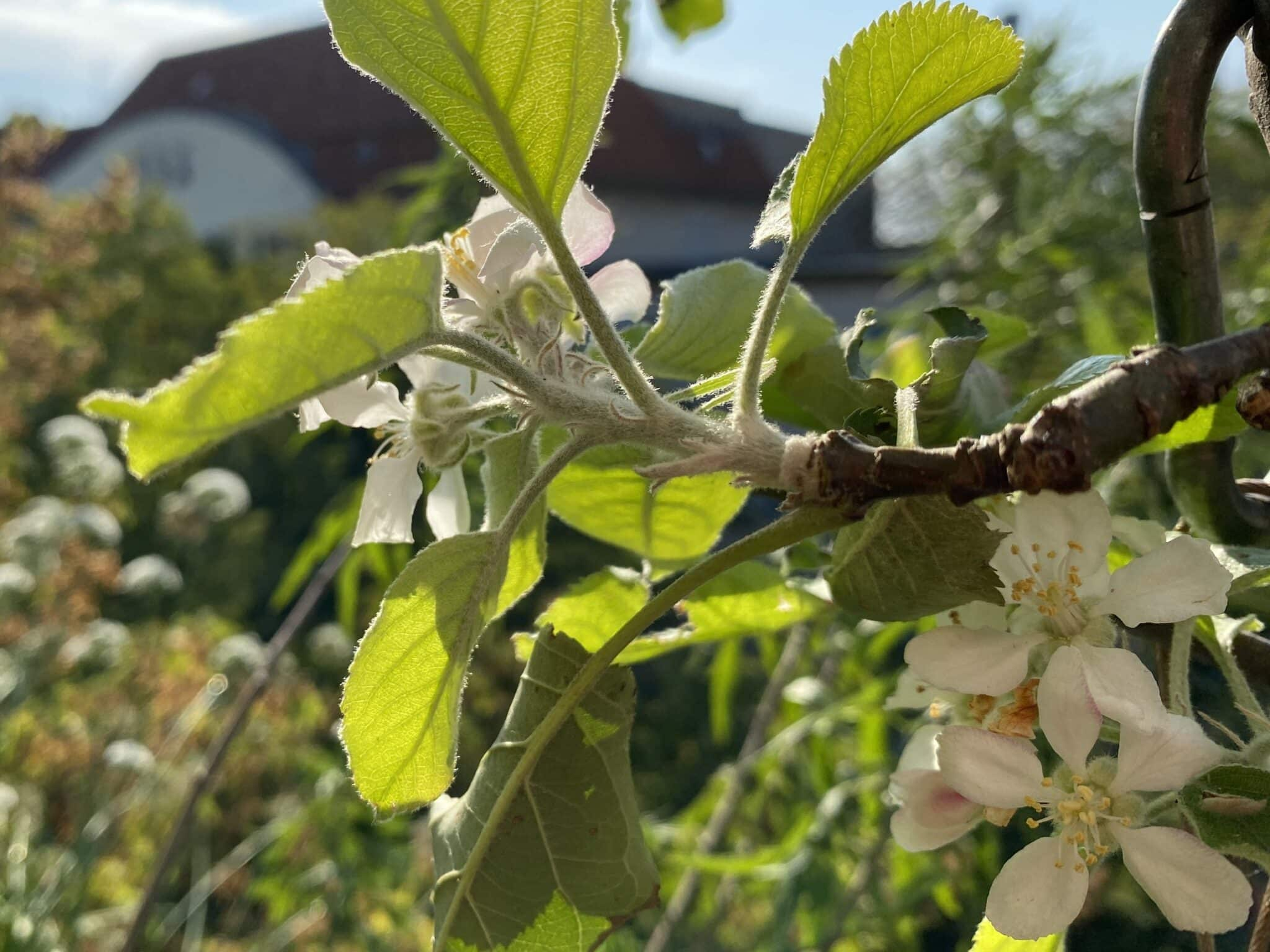 Späte Apfelblüten im Spätsommer und Herbst, also eine zweite Blüte ist im Garten und auf Balkons beobachtbar.