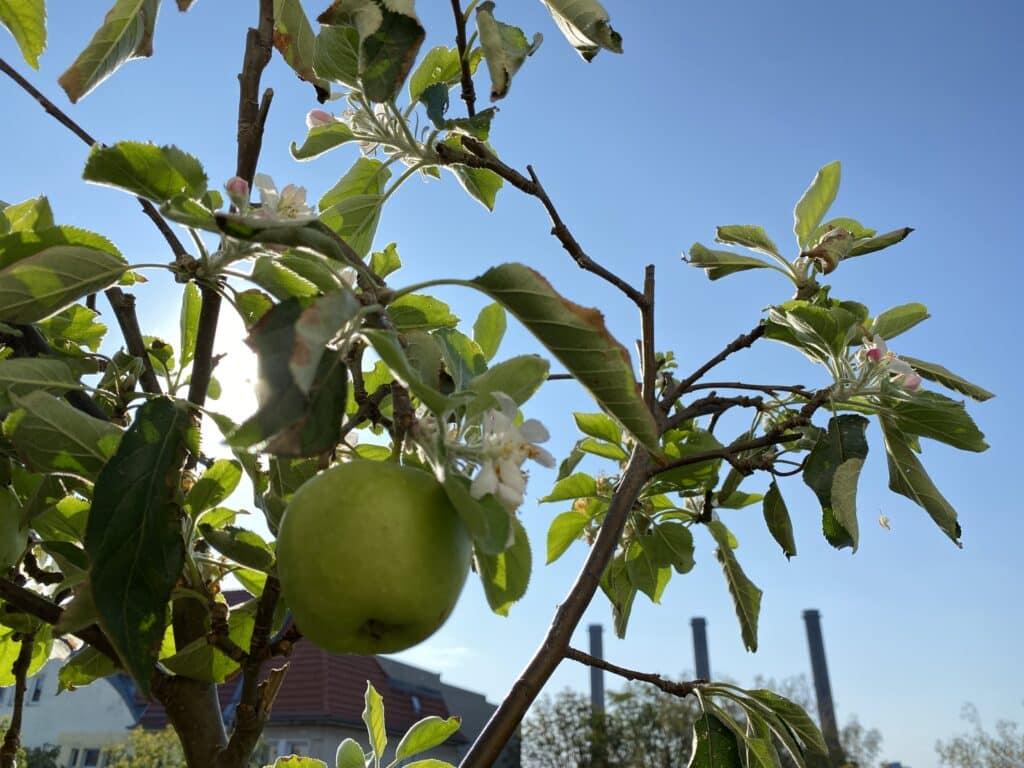 Späte Apfelblüten im Spätsommer und Herbst, also eine zweite Blüte ist im Garten und auf Balkons beobachtbar. Wie hier reifen die Äpfel parallel dazu.