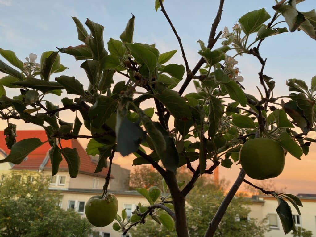 Fast fertige Äpfel leuchten im September. Was haben die neuen Apfelblüten zu bedeuten? Spielt die Natur verrückt? Klimawandel?