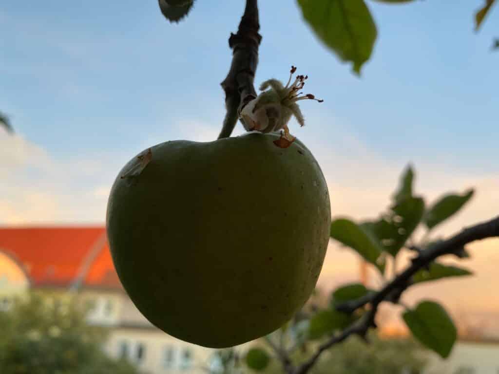 Direkt über dem fast pflückreifen Apfel blüht eine neue Apfelblüte.