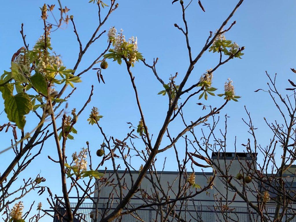 Nicht nur die Äpfel blühen. Auch die Rosskastanie blüht. Sie hat Kastanienfrüchte dran und auch im September Blüten. Spielt die Natur verrückt?