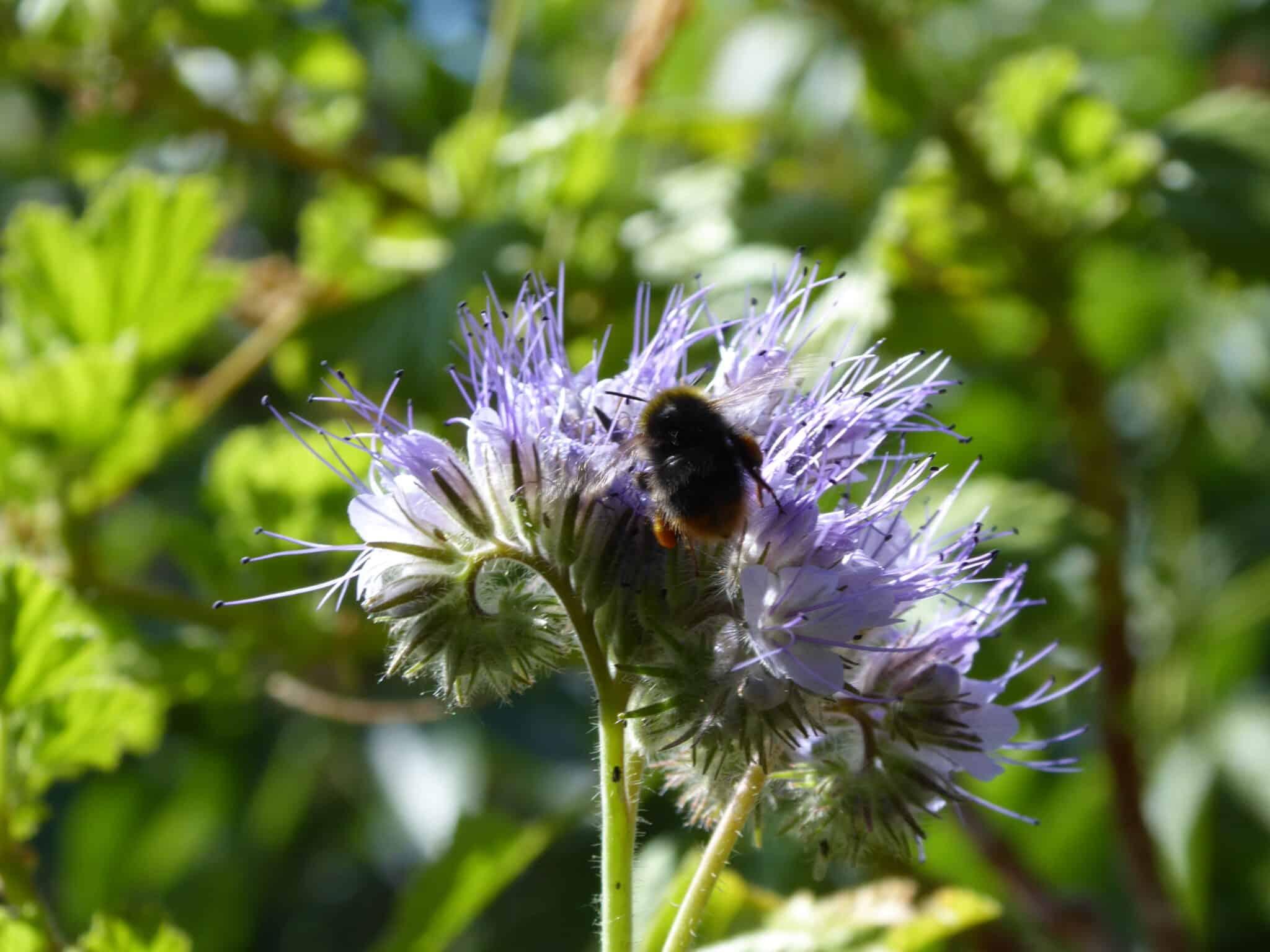 Balkon im Oktober - es kann Anfang Oktober noch Phacelia (Bienenweide) ausgesät werden. Sie blüht schnell und könnte den Bienen noch als letzte Nahrung dienen.