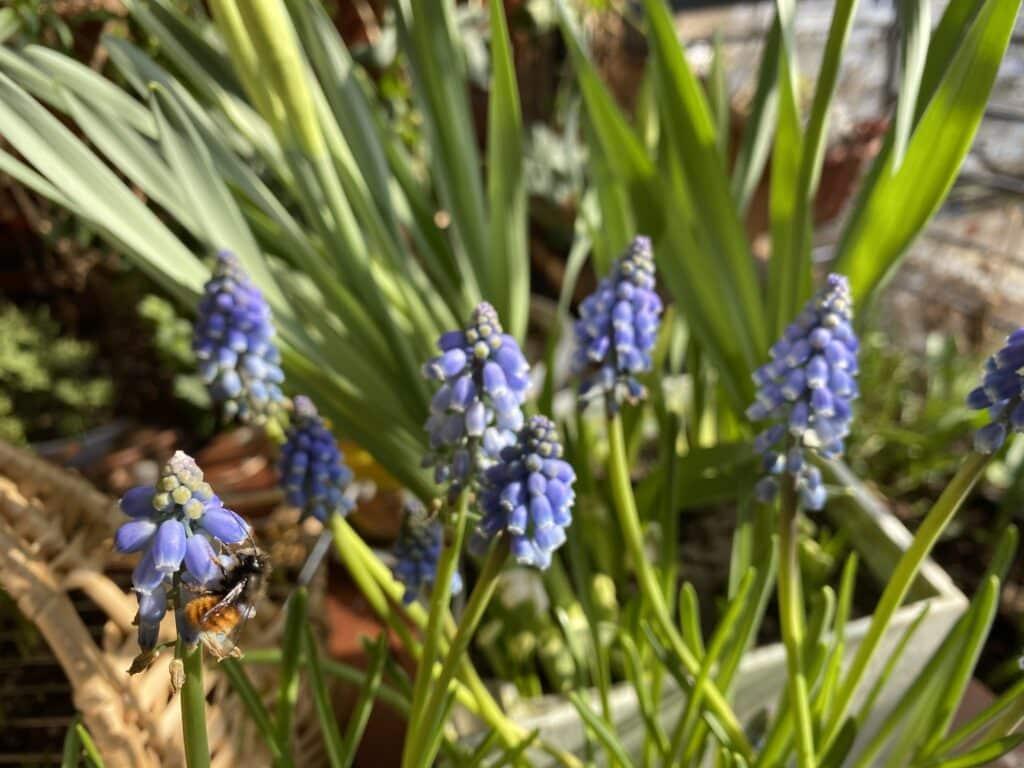 Traubenhyazinthen sind wunderschön und ziehen Wildbienen an - hier die Mauerbienen.