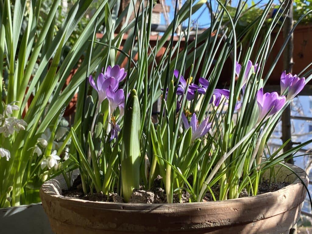 Auch die Krokusse sind beliebt bei Insekten als zeitige Nahrung im Frühjahr. Hier gibt es Bio-Blumenzwiebeln mit Rabatt über Gutschein.
