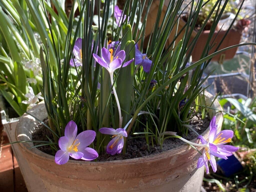 Krokusse erfreuen im Frühling unser Herz. Hast Du schon Frühblüher gesteckt? Hier Öko-Zwiebeln mit Rabatt