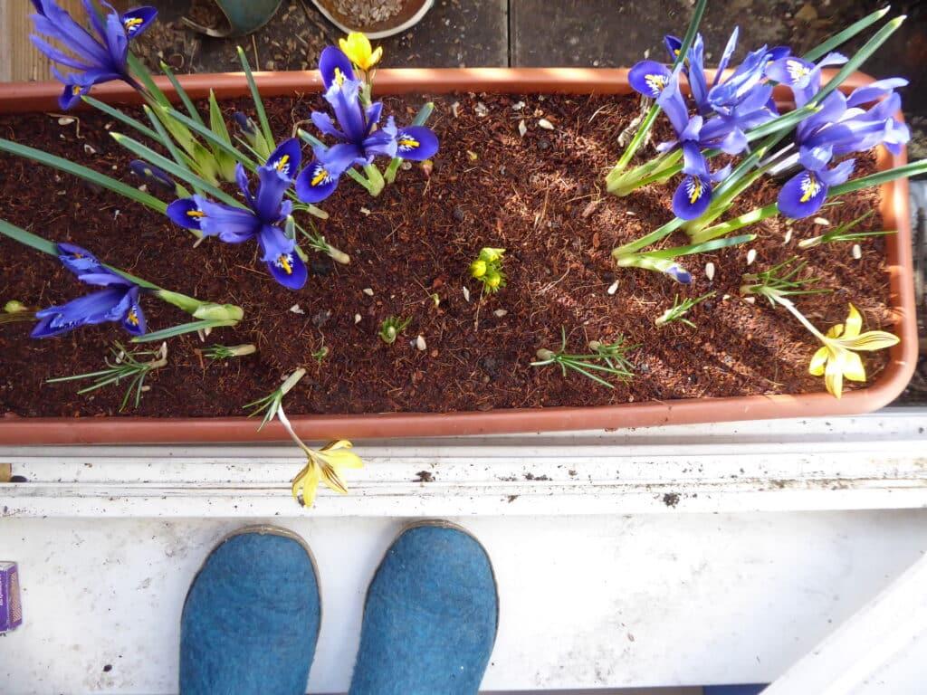 Diese entzückenden Zwerg-Iris duften sogar ganz fein.
