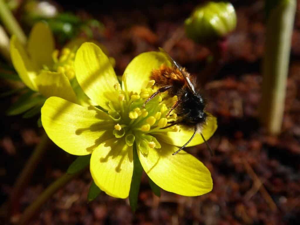 Sehr beliebt bei Mauerbienen ist der Gelbe Winterlinge. Hier gibt es Bio-Blumenzwiebeln mit Rabatt.