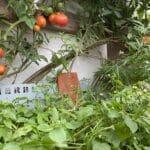 Ganzjährige Selbstversorgung mit Vertikalbeet: Tomaten, Basilikum und essbare Wildpflanzen Franzosenkraut, Beifuss.