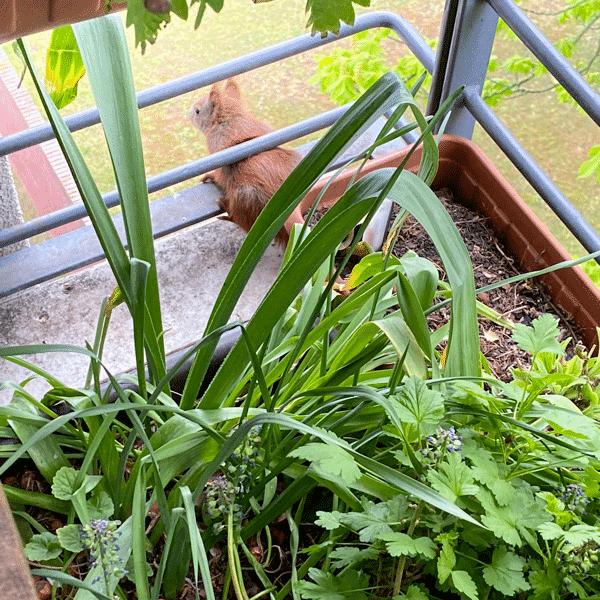 Das junge Eichhörnchen schaut vom Balkon herunter. Es hatte es geschafft, den großen Abstand von der vorm Balkon stehenden Kastanie zum Balkon zu überbrücken.