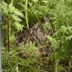 Ente Lilli hat sich auf unserem Balkon so ein schönes Versteck für ihr Nest gesucht.