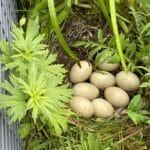 Acht Eier legte unsere Ente Lilli auf unserem Balkon ab. Jeden Tag ein Ei.