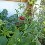 Hier erfolgt der Anbau von Paprika und Chili auf dem Balkon im Vertikalbeet.