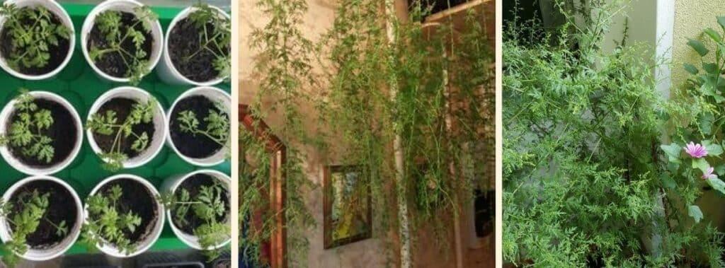 Ihre Erfahrungen zum Anbau von Artemisia annua auf de Balkon schildert Christina Dahms