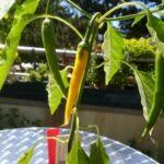 Anbau von Paprika und Chili auf dem Balkon - Pflanzen von Chili-Experte Alexander Hicks