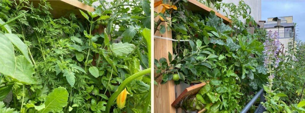 Am 11. Juli ist sie auf meinem Balkon schon höher als der Rahmen vom Vertikalbeet gewachsen. Wohlweislich pflanzte ich sie in die oberste Etage vom Vertikalbeet.