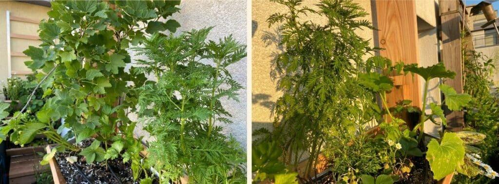 Frisch auf meinem Balkon gepflanzte Artemisia annua am 6. Juni